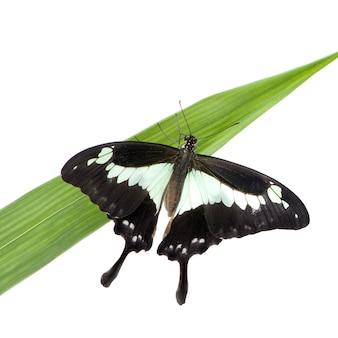 Papilo - papilio phorcas в на белом изолированные