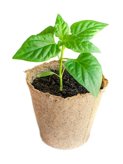 Paprica seedling in flowerpot. gardening concept. isolated on white. green plant.