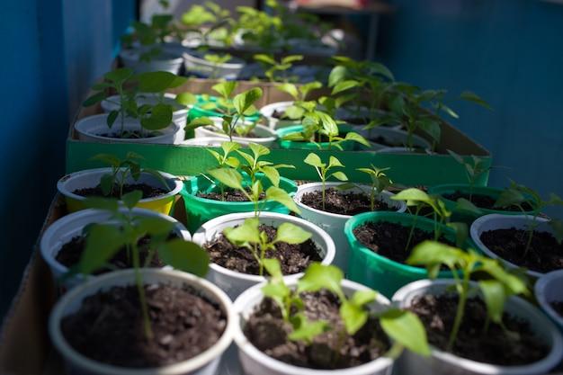 Paprika seedlings grown in pots before planting to garden
