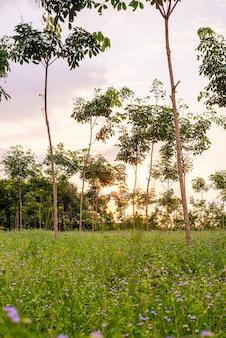태국 남부 파라 고무 나무, 라텍스 고무 농장 및 나무 고무 정원
