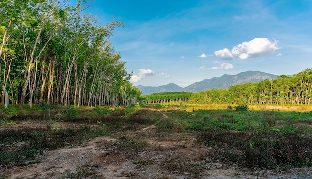 Para rubber tree, latex rubber plantation and tree rubber