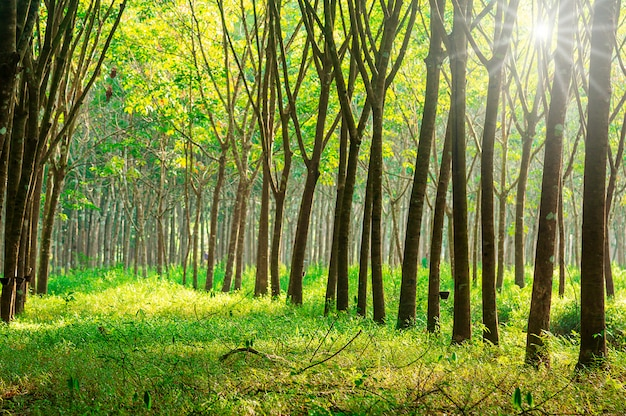 Para rubber tree, latex rubber plantation