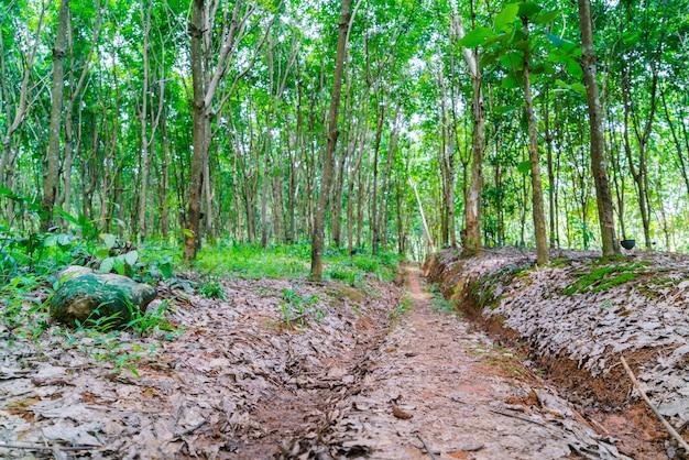 파라 고무 나무.