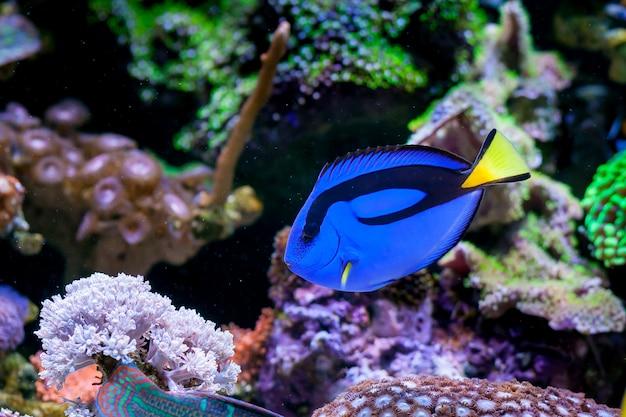 Paracanthurus hepatus, blue tang in home coral reef aquarium. selective focus.