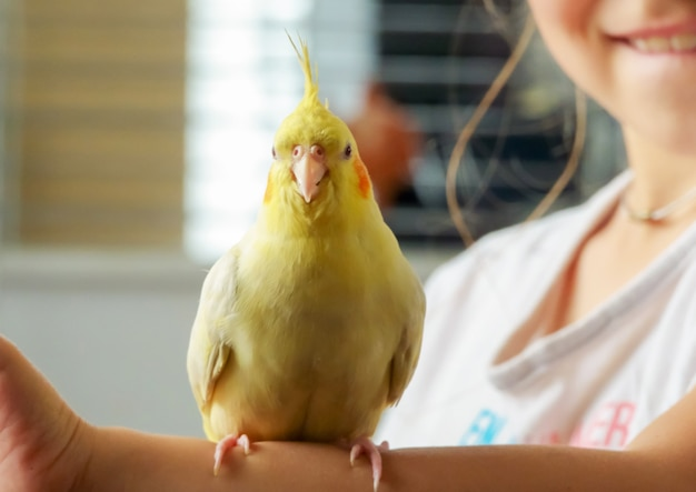 Parakeet corella of a gray color child holds in a hand