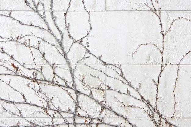Паразитарный завод на текстуре белой кирпичной стены