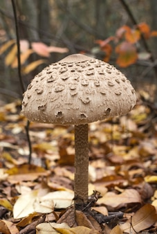 Parasol mushroom macrolepiota procera in the autumn forest