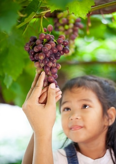 Parent and child hand checking and harvesting bunch of red grapes in the vineyard