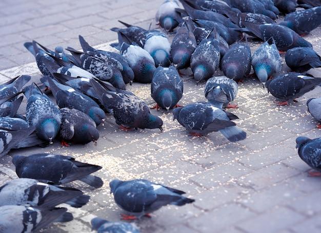Парковые голуби, имеющие фон еды