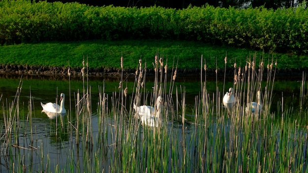 Park lake with white swans. swans swimming on pond between reeds. beautiful summer nature.