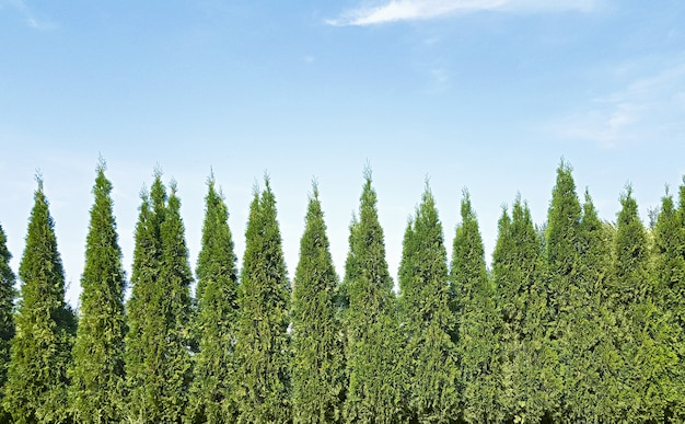 Park landscape design background with copy space, backyard with thuja trees and sky.