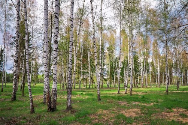 자작 나무와 푸른 잔디가있는 공원