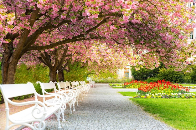 Park with blossom sakura, flower lawn and benches