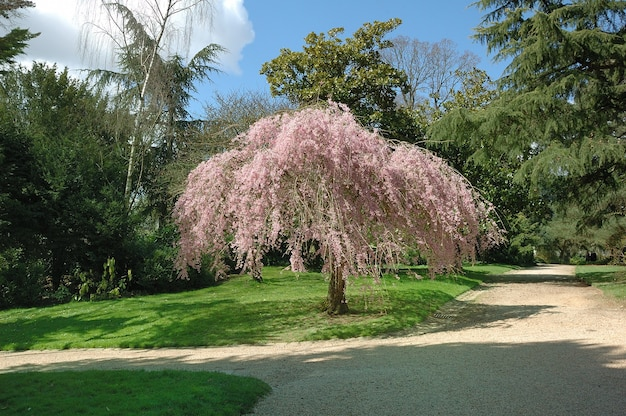 ピンクの木のある公園