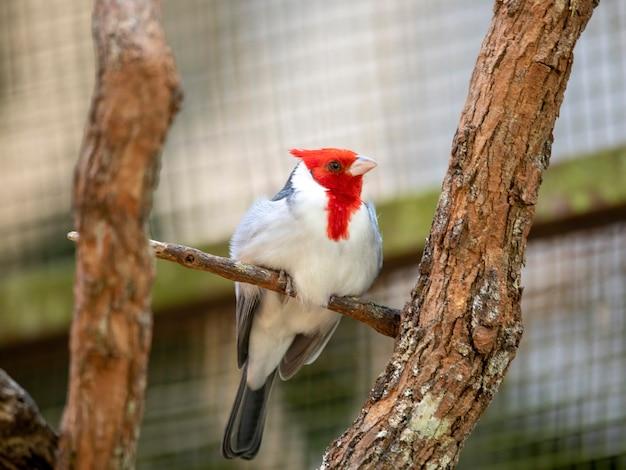 Paroaria, рыжие кардиналы или кардиналы-танагеры (поскольку они не близки к cardinalidae), являются родом танагеров. до недавнего времени их относили к семейству emberizidae.