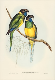 Parrakeet (platycercus bauerii) illustrated by elizabeth gould