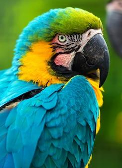 枝に座っているオウムの鳥(重度のコンゴウインコ)