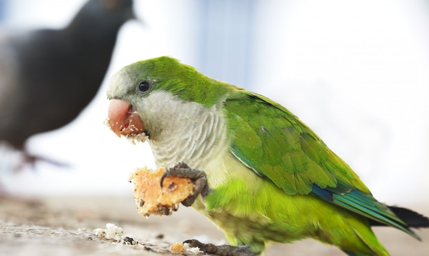 Parrot eating a piece of bread