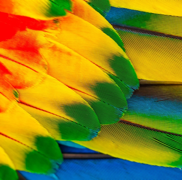 Parrot feathers with yellow red and blue feathers