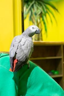 赤い尾を持つオウムの灰色が座っています