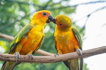 Parrot kissing couple