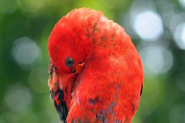 オウムコンゴウインコオウム鳥