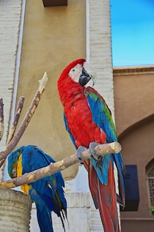 The parrot in yazd, iran