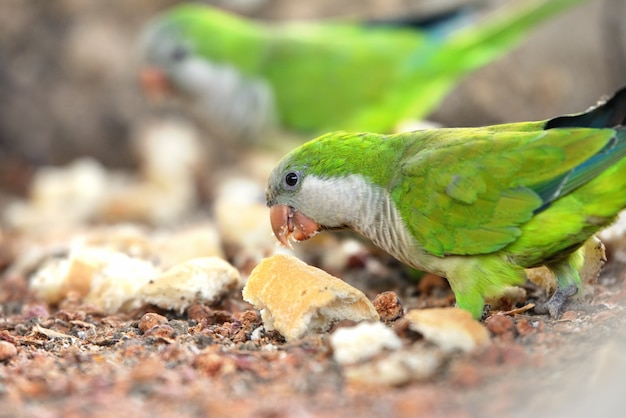 Parrots eat small pieces of bread