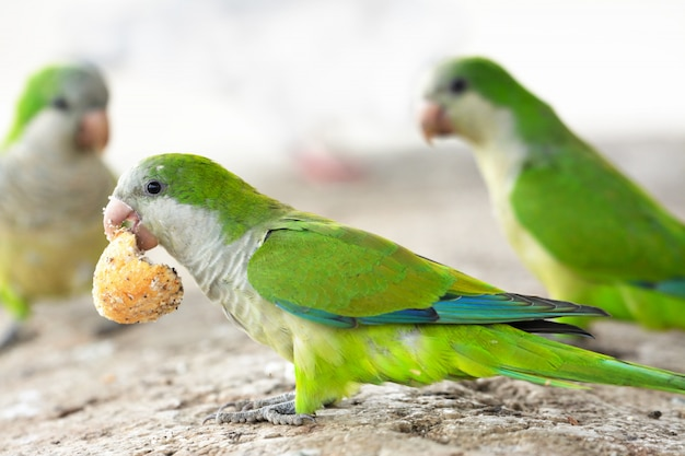 Parrots fighting for food