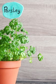 Parsley growing in a pot. sign with the inscription parsley