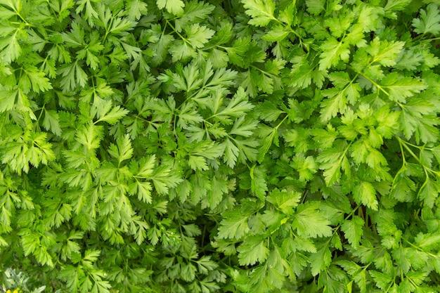 パセリは庭で育ちます。それは庭エリアで屋外で栽培されています。パセリの葉の緑の背景、上面図のクローズアップ。