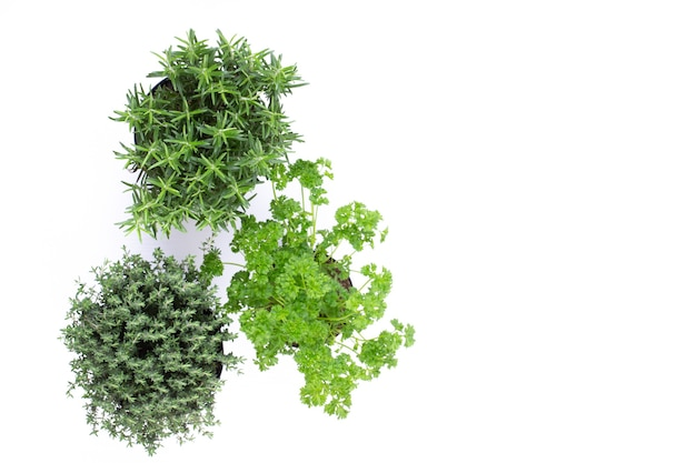 Трава петрушки, базилик, шалфей, листья, тимьян, специя мяты на белом фоне.