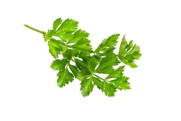 파슬리 잎 흰색 배경에 고립입니다. 신선한 유기농 파슬리 허브 잎. 파슬리 지점. 녹색 잎.