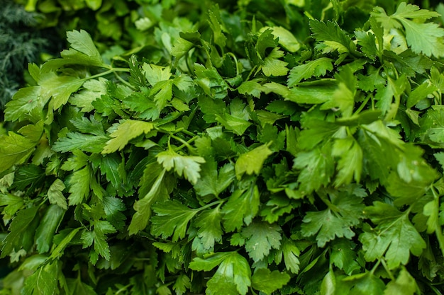 Parsley leaves. green leaves. parsley growing in the garden. close-up, growing herbs. horizontal photo.