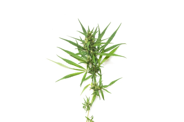 Part of cannabis branch on white, cannabis branch  with copy space text