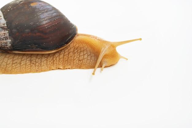 흰색 바탕에 큰 땅 달팽이의 일부입니다. 특이한 애완 동물. 틀에 얽매이지 않는 미용과 의학.