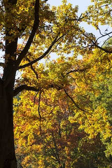 A part of a tree trunk is an oak tree with multi-colored foliage of yellow red and orange color, autumn season, leaf fall