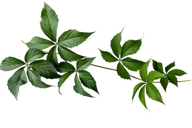 白い背景に分離された緑の葉を持つparthenocissusブランチ。野生ブドウの枝