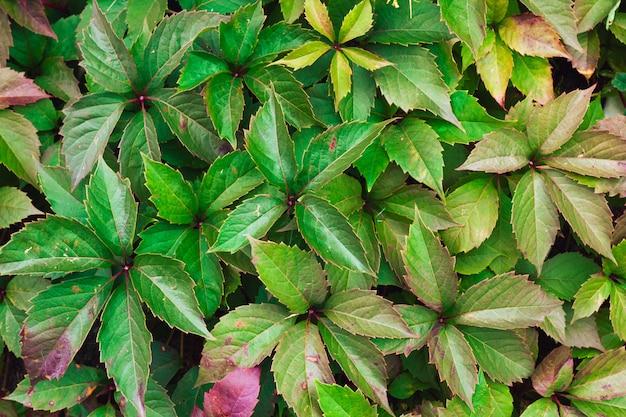 Parthenocissus colorfull leaves texture