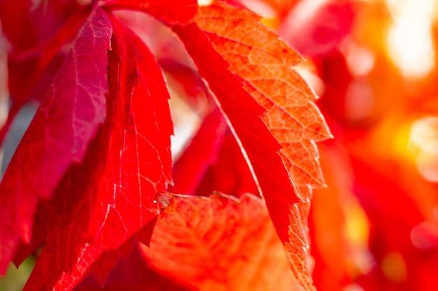 Parthenocissus quinquefolia in autumn, red sharp leaves close up. partially blurred. blurred background
