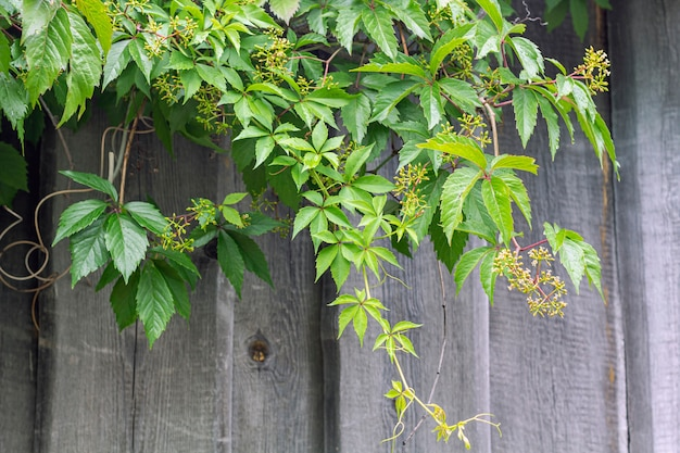 Parthenocissus quinquefolia and partenocissus five-leafed attached grapes- woody vine of genus maiden grapes hanging on wooden wall, rustic style.