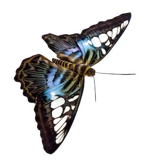 Бабочка парфенос сильвия в на белом изолированные