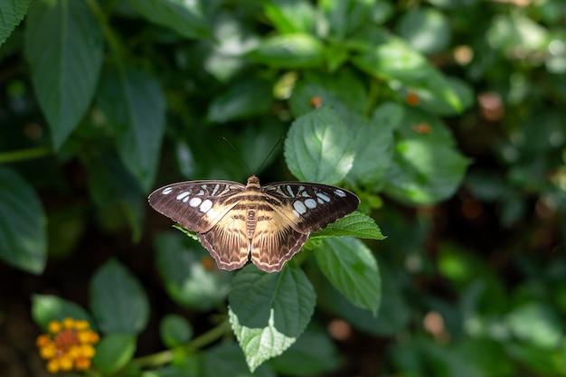 파르테노스 실비아 나비는 날개가 열린 녹색 잎에 앉아 위쪽 전망을 감상할 수 있습니다.