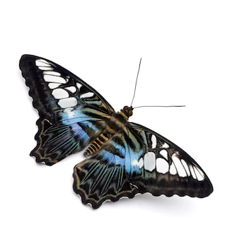 Parthenos sylvia butterfly in on a white isolated