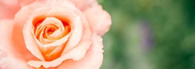 Частично размытое творческое фоновое изображение. нежная розовая роза и зелень. баннер