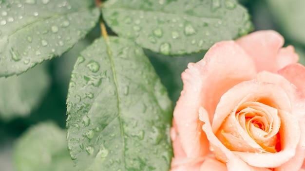 Частично размытое творческое фоновое изображение. нежная розовая роза и зелень