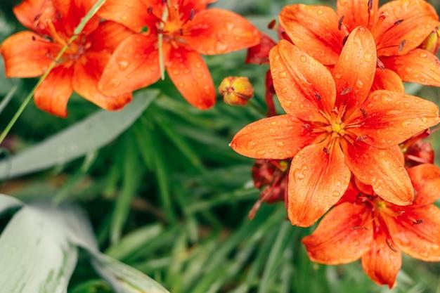 Частично размытое творческое фоновое изображение ярко-оранжевых лилий и зелени