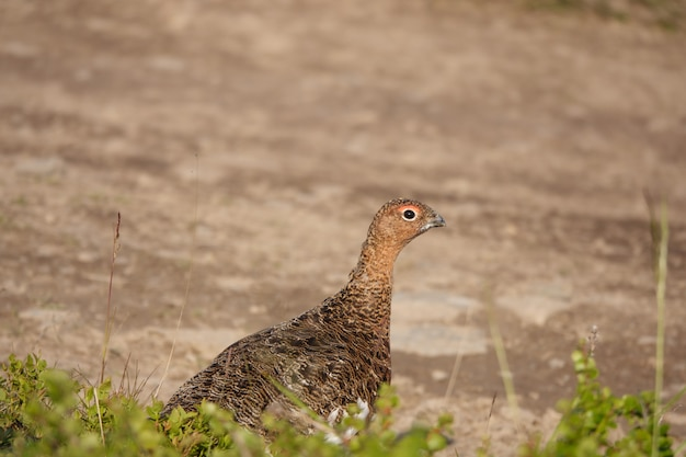 Partridge peering cautiously