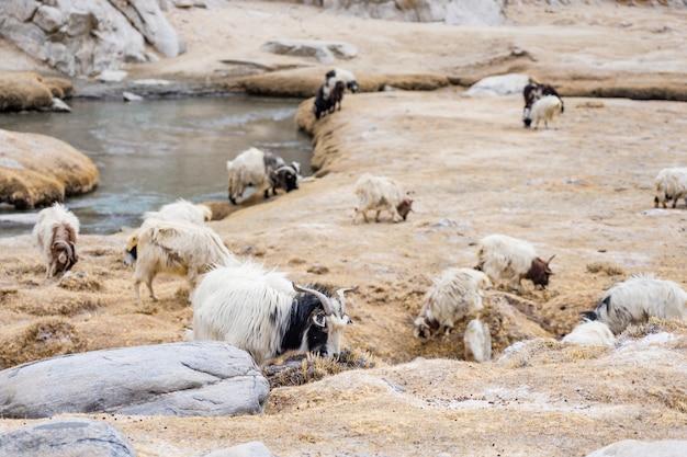 Pashmina mountain goat in alpine climate highland landscape in leh ladakh, india