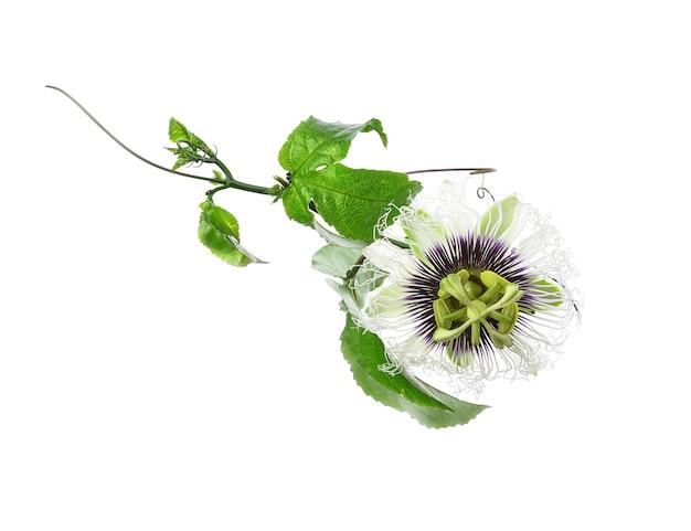 白で隔離のパッションフルーツの花と葉